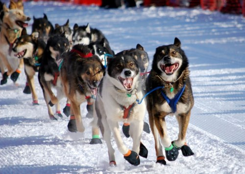 sled dogs222222222222 (500 x 356)